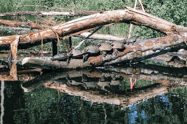 Turtles on a tree branch in Killingworth wetlands