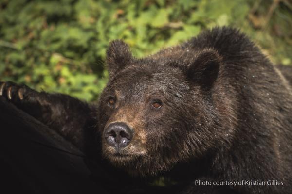 Bear Close-up - Kristian Gillies