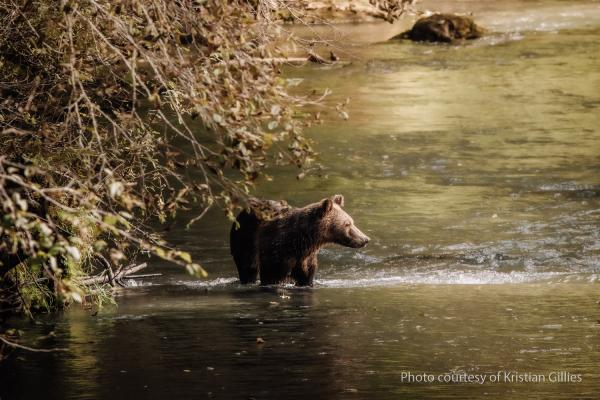 Bear Cub in Water -Kristian Gillies