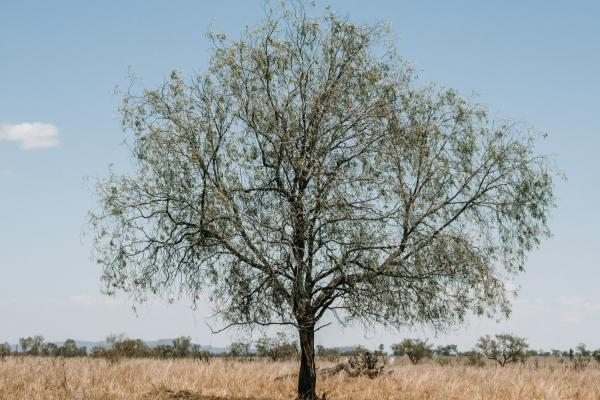Flora & Fauna - Image of Large Tree on open land