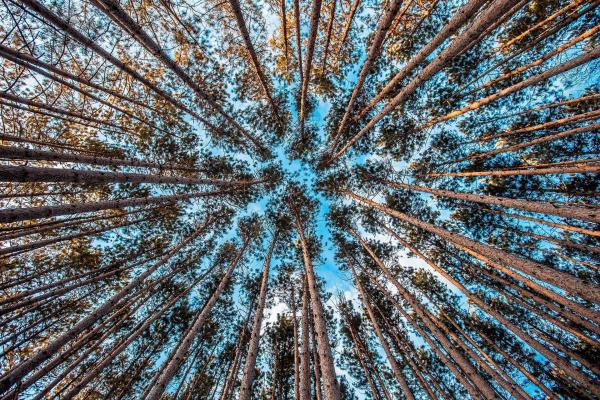 forest trees looking upwards