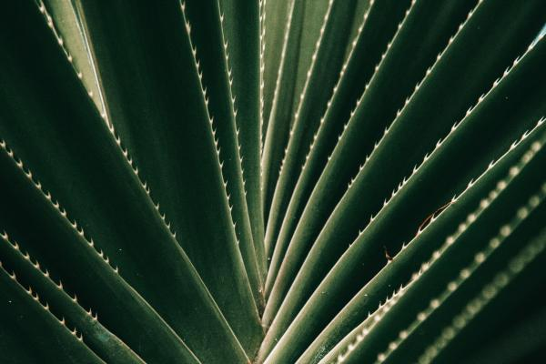 very close up shot of aloe plant